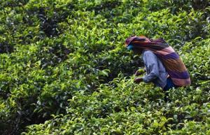 Sri Lanka - Sri Lanka pełna herbaty