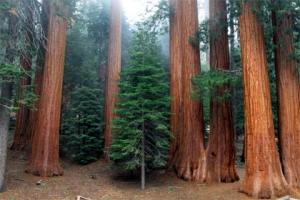 USA - Najwyższe drzewa świata