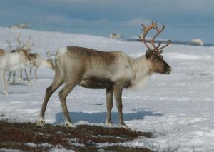 Norwegia - Fauna Norweska